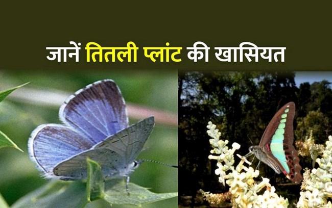 फरवरी-मार्च में लगाएं तितली प्लांट, मात्र एक पेड़ से होगा तितलियों का बसेरा
