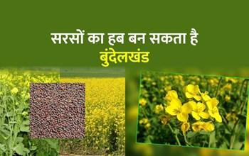 Sarso Ki Kheti: सरसों की नई उन्नत किस्मों से बुंदेलखंडी किसानों को मिलेगी डेढ़ गुना ज्यादा पैदावार, पढ़िए पूरा लेख