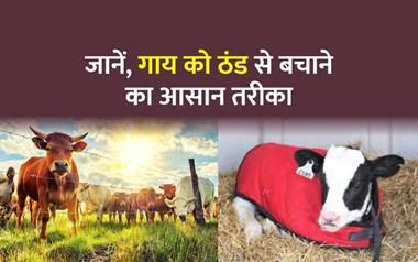 गाय के लिए जानलेवा हो सकती है ठंड, पढ़िए इसके लक्षण और उपाय