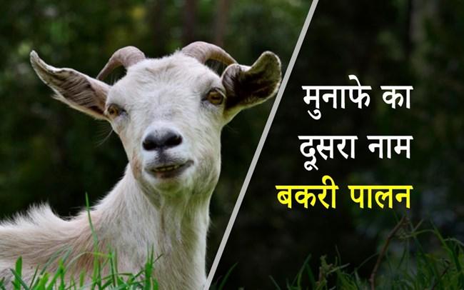 Goat Farming: बकरी पालन में है भारी मुनाफा, जानें- फायदे, अच्छी नस्लें और संभावित रोग