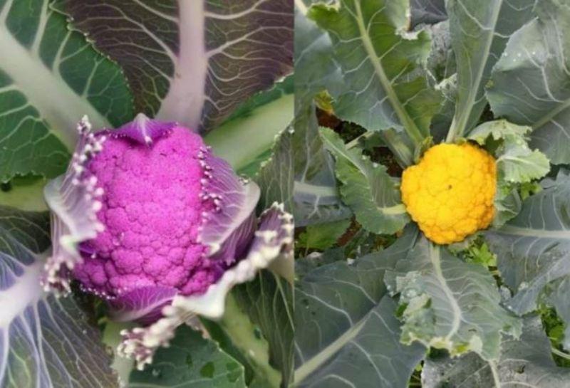 Cauliflower Cultivation