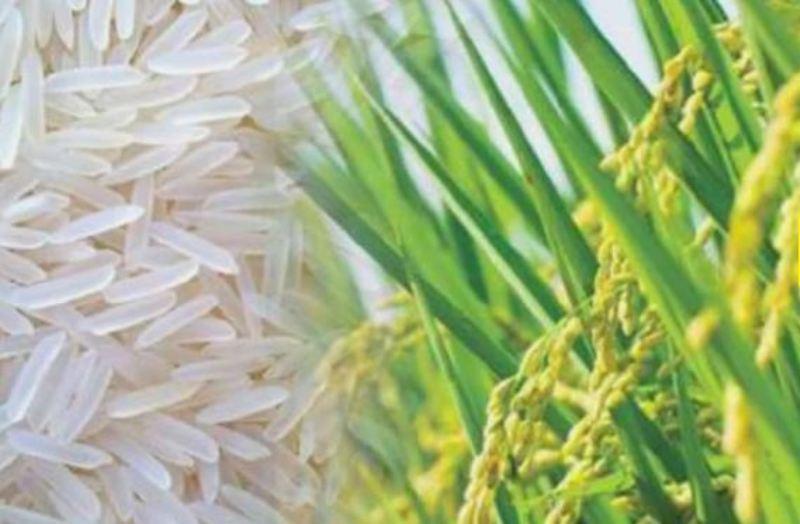Basmati New Varieties