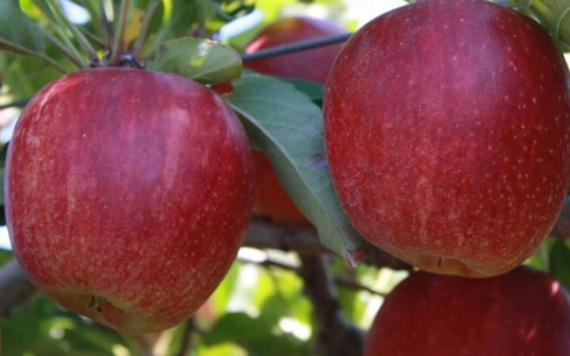 Apple Gardening