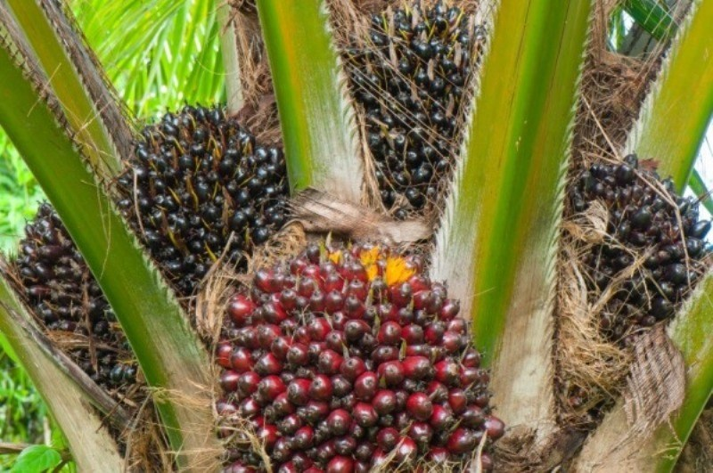 Palm Farming