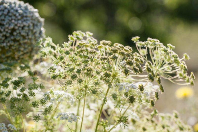 Cumin Cultivation