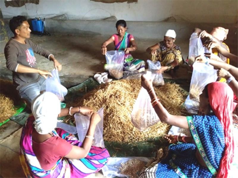 Dhingri Mushroom Production