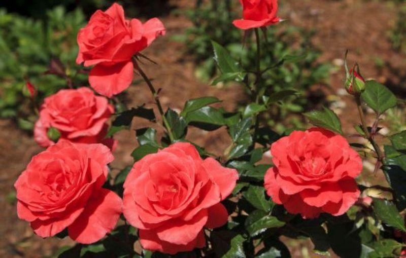 गुलाबाची लागवड