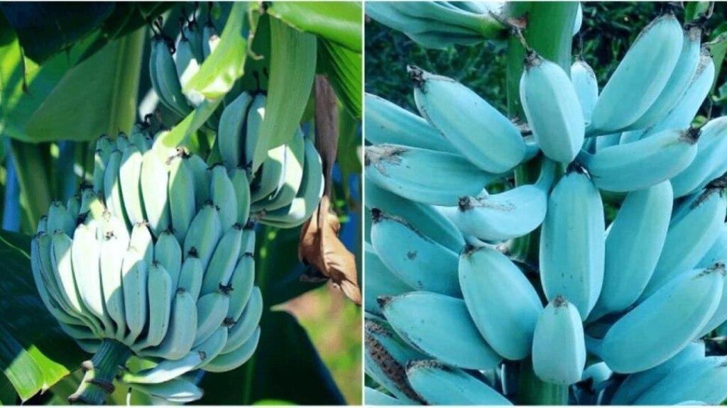 निळा केळी