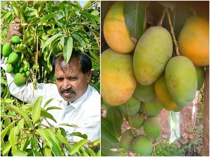 Mango Cultivation