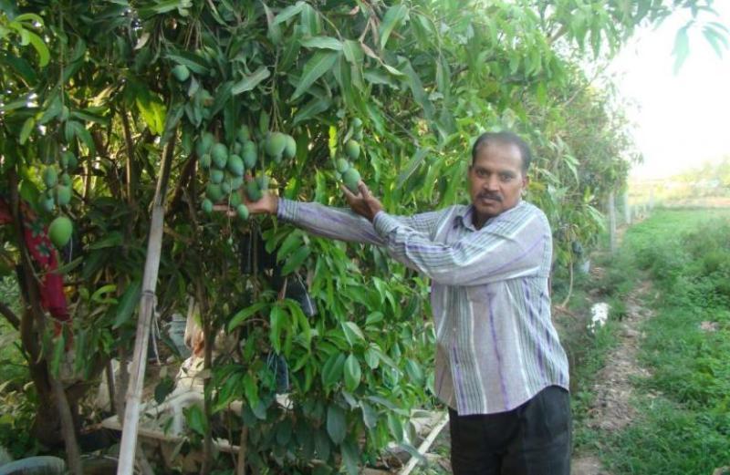 Mango New Varieties