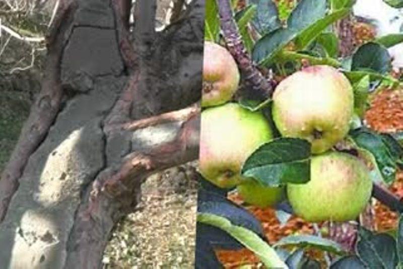 Apple Tress