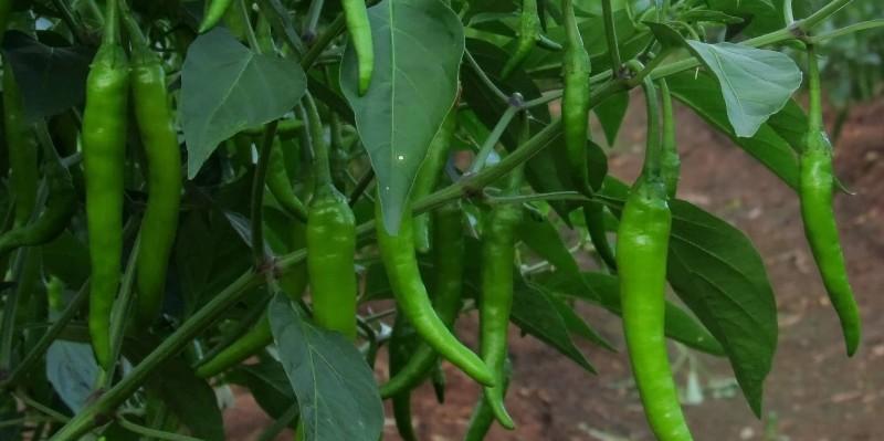 Chilli Crop