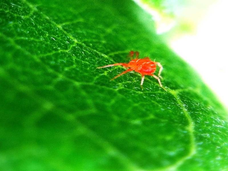 Red mite