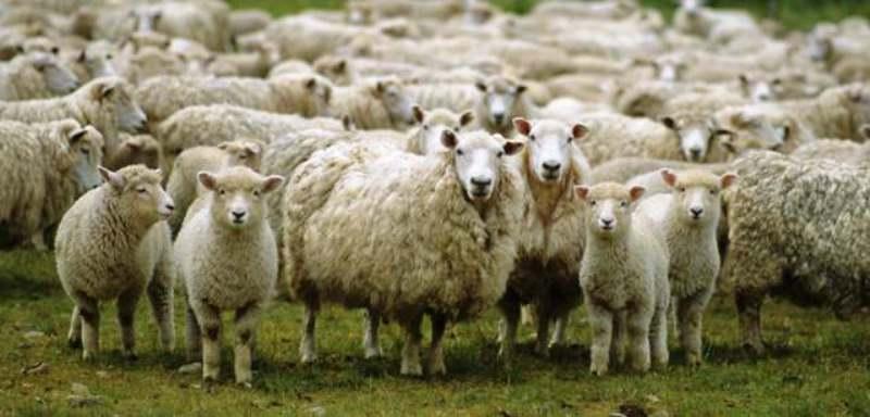 मेंढी