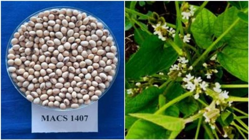 Soybean Variety