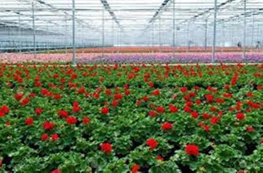 Geranium Cultivation