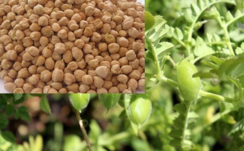 Gram Cultivation