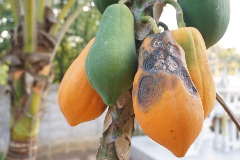 Papaya Disease