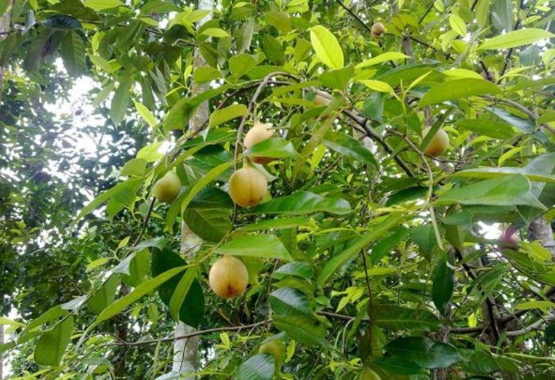 Nutmeg Cultivation