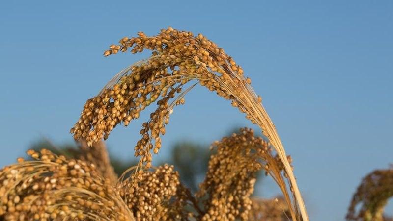 Millet Cultivation