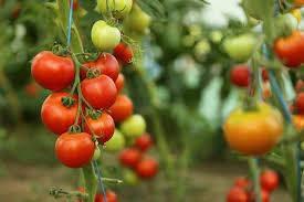 टोमॅटो