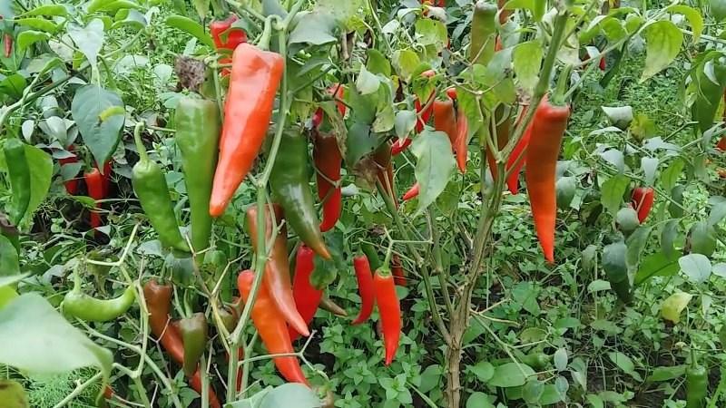 Chilli Cultivation