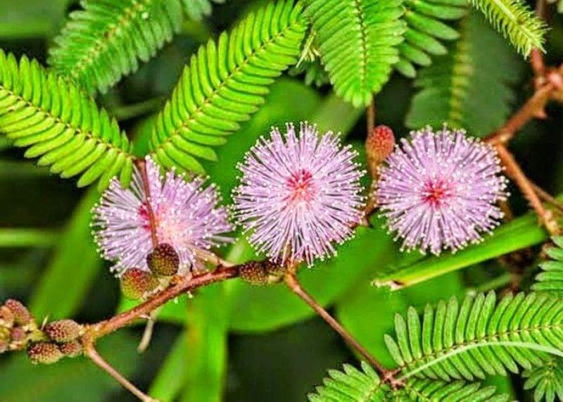 Chui Mui Plant