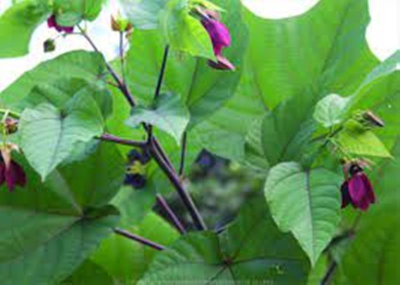 Ultakambal Plant