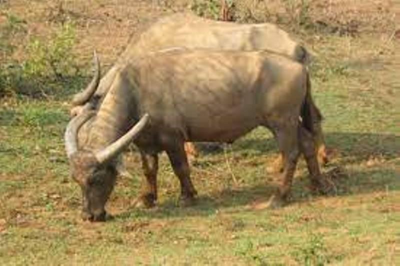 Manda Buffalo
