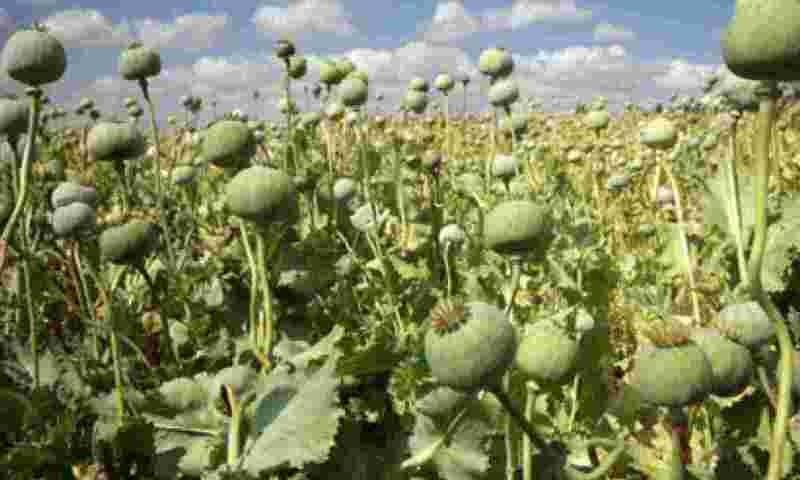 Afeem Farming Business Idea