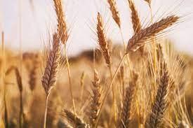 Wheat Variety