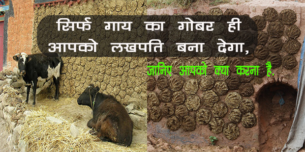Usage of cow dung