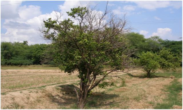रोगी पौधों व स्लोडिक्लाइन अथवा मंदअपक्षय रोग
