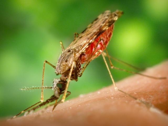mosquite