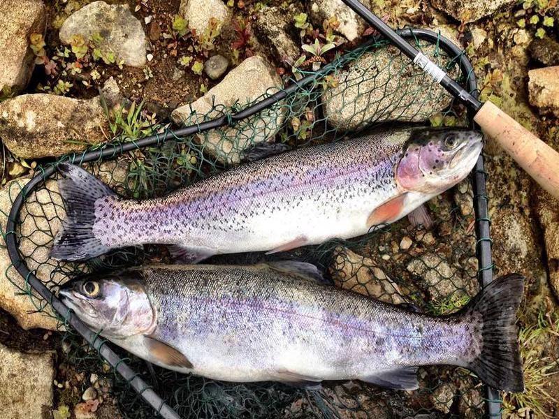 traut fish